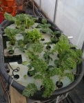 Hydroponics experiment was a success