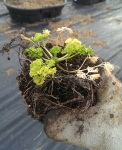 Look what I found. The Parsley that Lived.